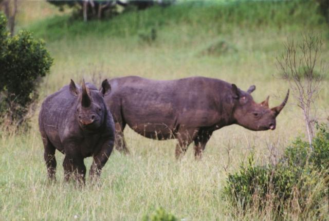 Rhino_sf